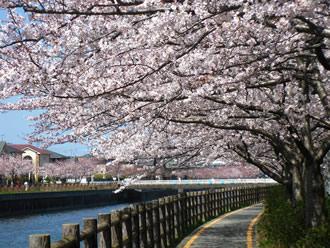 金山川 桜
